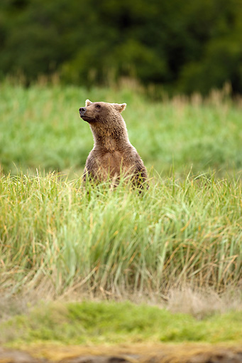 BEA 01 MC0015 01 © Kimball Stock Brown Bear Standing On Hind Legs In Tall Grass Alaska