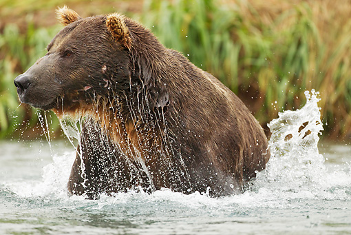 BEA 01 MC0017 01 © Kimball Stock Grizzly Bear Male Fishing In Geographic Harbor, Katmai National Park, Alaska