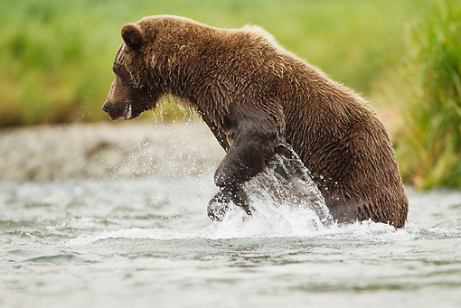BEA 01 MC0018 01 © Kimball Stock Grizzly Bear Male Fishing In Geographic Harbor, Katmai National Park, Alaska