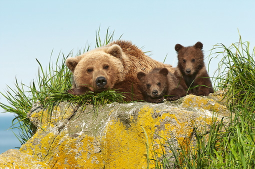 BEA 01 NE0054 01 © Kimball Stock Alaskan Brown Bear Mother Laying On Rock With Cubs Katmai National Park, Alaska