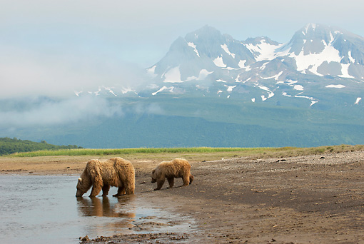 BEA 01 NE0056 01 © Kimball Stock Alaskan Brown Bear Mother And Cub Drinking From Pond Katmai National Park, Alaska