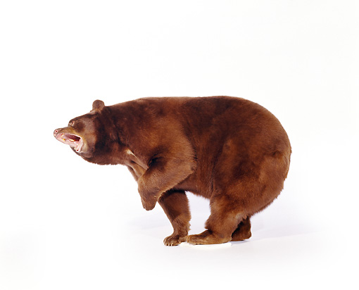 BEA 01 RK0001 01 © Kimball Stock Brown Bear Standing Growling On White Seamless