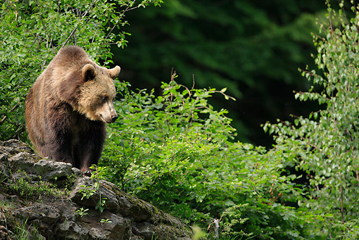 BEA 01 WF0002 01 © Kimball Stock European Brown Bear Standing On Rock In Forest