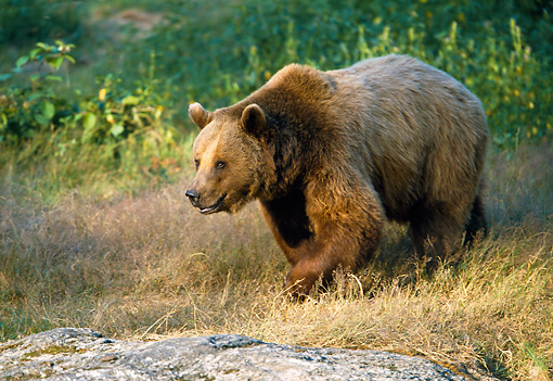 BEA 01 WF0013 01 © Kimball Stock Brown Bear Walking Through Meadow In Forest