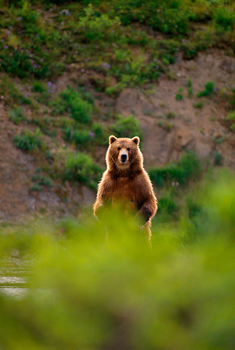 BEA 01 DB0001 01 © Kimball Stock Brown Bear Standing On Hind Feet Alaska