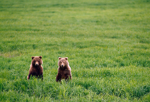 BEA 01 NE0003 01 © Kimball Stock Two Alaskan Brown Bear Cubs Standing On Hind Legs On Alert In Field Alaska