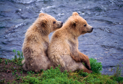 BEA 01 NE0017 01 © Kimball Stock Two Alaskan Brown Bear Cubs Sitting On Riverbank Alaska