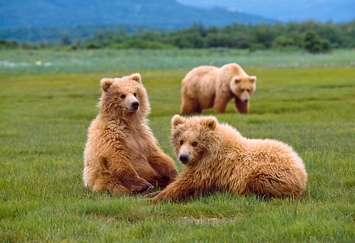 BEA 01 NE0027 01 © Kimball Stock Alaskan Brown Bear Cubs Resting In Field Alaska