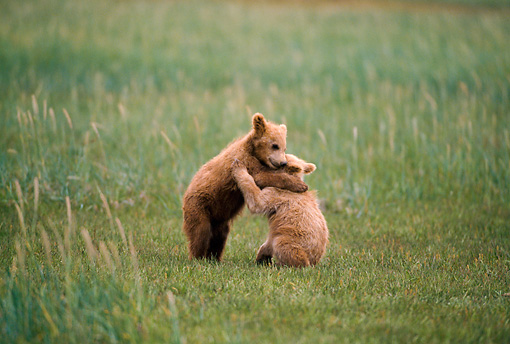 BEA 01 NE0032 01 © Kimball Stock Alaskan Brown Bear Cubs Playing In Field Alaska