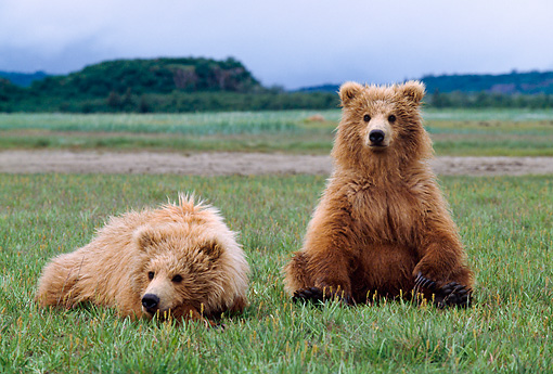 BEA 01 NE0034 01 © Kimball Stock Alaskan Brown Bear Cubs Sitting In Field Alaska