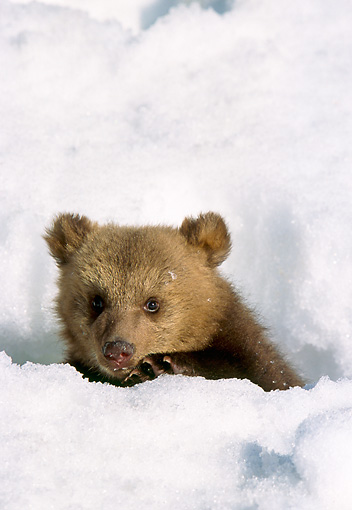 BEA 01 NE0041 01 © Kimball Stock Captive Alaskan Brown Bear Cub Playing In Snow