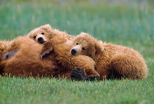 BEA 01 NE0045 01 © Kimball Stock Two Alaskan Brown Bear Cubs Resting Against Mother In Field Alaska