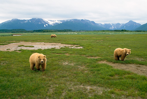 BEA 01 NE0046 01 © Kimball Stock Alaskan Brown Bear Sow And Two Cubs Standing In Field By Mountains Alaska