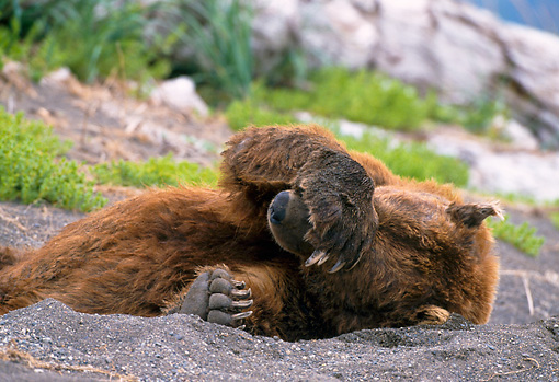 BEA 01 NE0049 01 © Kimball Stock Alaskan Brown Bear Male Covering Eyes Resting In Daybed On Beach Alaska