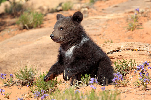 BEA 02 AC0001 01 © Kimball Stock Grizzly Bear Cub Three Months Old Sitting In Desert In Monument Valley, Utah, USA