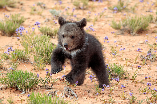 BEA 02 AC0002 01 © Kimball Stock Grizzly Bear Cub Three Months Old Playing In Desert In Monument Valley, Utah, USA