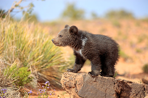 BEA 02 AC0003 01 © Kimball Stock Grizzly Bear Cub Three Months Old Standing On Rock Desert In Monument Valley, Utah, USA