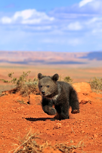 BEA 02 AC0004 01 © Kimball Stock Grizzly Bear Cub Three Months Old Playing In Monument Valley, Utah, USA
