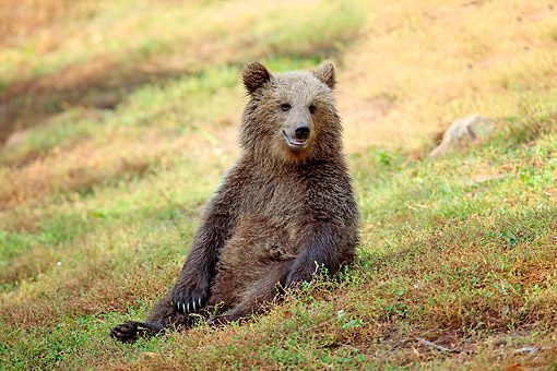 BEA 02 AC0007 01 © Kimball Stock European Brown Bear Cub Playing In Grass