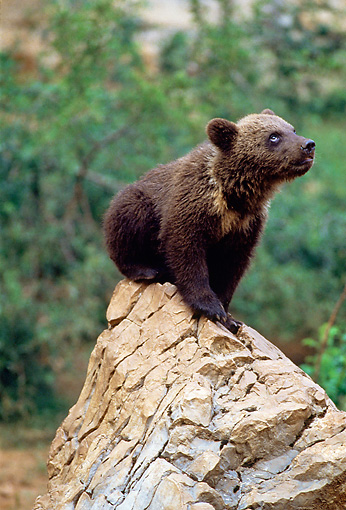 BEA 02 GL0001 01 © Kimball Stock Portrait Of Brown Bear Cub Sitting On Rock