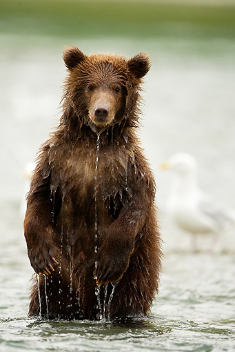 BEA 02 MC0001 01 © Kimball Stock Grizzly Bear Cub Standing Upright In River