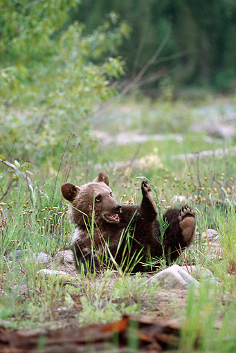 BEA 02 MC0002 01 © Kimball Stock Grizzly Bear Cub Rolling On Back In Grass