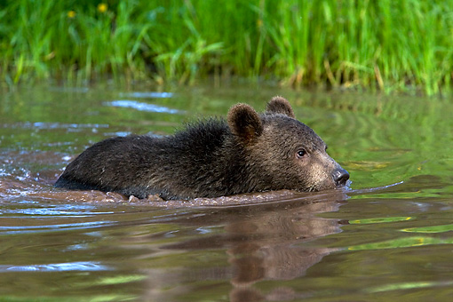 BEA 02 KH0004 01 © Kimball Stock Grizzly Bear Cub Swimming In Stream