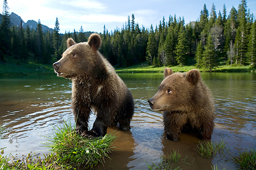 BEA 02 KH0005 01 © Kimball Stock Grizzly Bear Cubs Wading In Stream