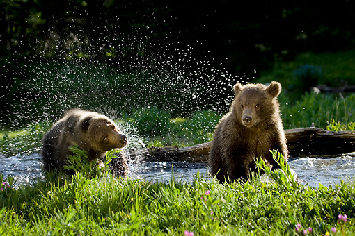 BEA 02 KH0006 01 © Kimball Stock Grizzly Bear Cubs Splashing In Stream
