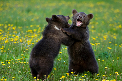 BEA 02 KH0007 01 © Kimball Stock Grizzly Bear Cubs Wrestling In Field Of Yellow Wildflowers