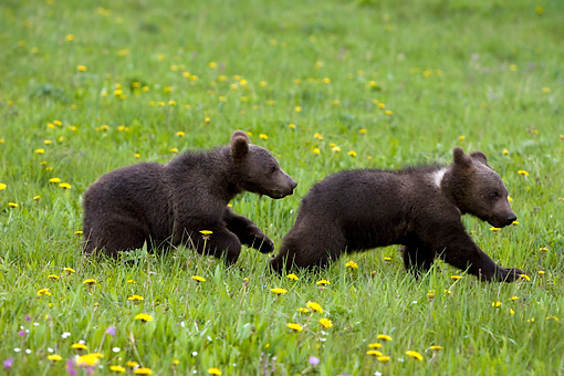 BEA 02 KH0008 01 © Kimball Stock Grizzly Bear Cubs Running In Field Of Yellow Wildflowers