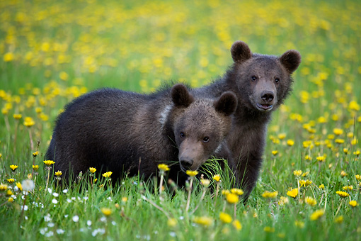 BEA 02 KH0009 01 © Kimball Stock Grizzly Bear Cubs Standing In Field Of Yellow Wildflowers