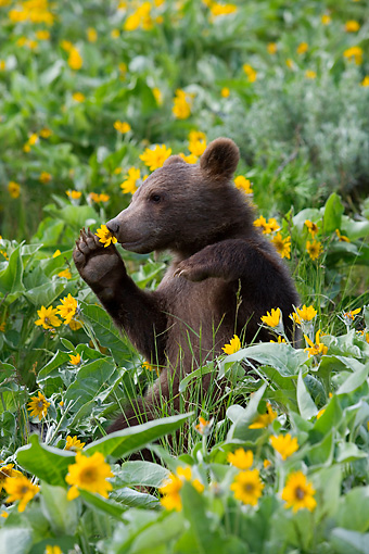 BEA 02 KH0011 01 © Kimball Stock Grizzly Bear Cub Sitting In Field Of Wildflowers Holding Flower