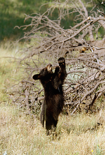 BEA 02 RF0001 01 © Kimball Stock Black Bear Cub Standing On Hind Legs Reaching For Tree Branch