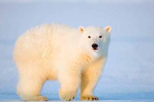 BEA 02 SK0001 01 © Kimball Stock Polar Bear Cub Walking On Ice