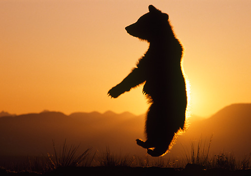BEA 02 TK0004 01 © Kimball Stock Silhouette Of Grizzly Bear Cub Leaping Sunset Rocky Mountains