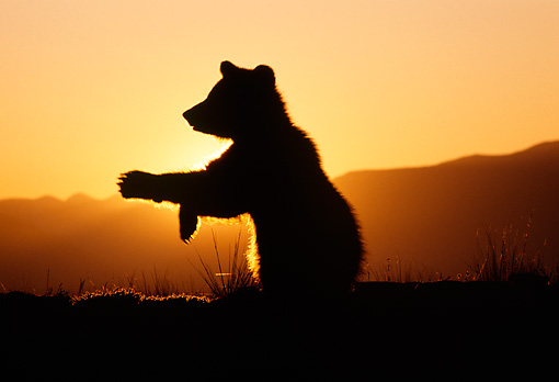 BEA 02 TK0005 01 © Kimball Stock Silhouette Of Grizzly Bear Cub Walking Sunset Rocky Mountains