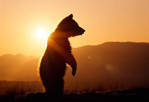 BEA 02 TK0006 01 © Kimball Stock Silhouette Of Grizzly Bear Cub Standing Sunset Rocky Mountains