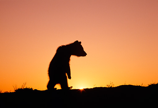 BEA 02 TK0007 01 © Kimball Stock Silhouette Of Grizzly Bear Cub Walking On Hind Legs Sunset Rocky Mountains