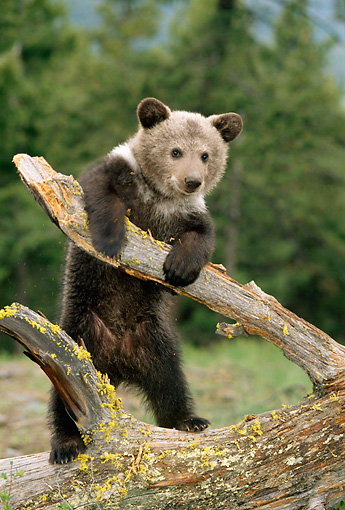 BEA 02 TK0009 01 © Kimball Stock Grizzly Bear Cub Playing On Log Rocky Mountains