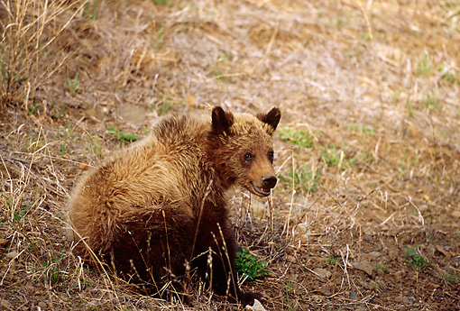 BEA 02 TL0002 01 © Kimball Stock Grizzly Bear Cub Standing In Field