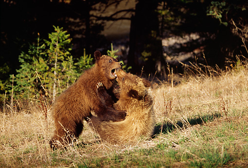 BEA 02 TL0003 01 © Kimball Stock Two Grizzly Bear Cubs Wrestling On Hillside Near Woods
