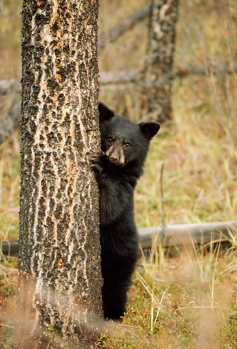 BEA 02 TL0004 01 © Kimball Stock Black Bear Cub Climbing Tree In Autumn