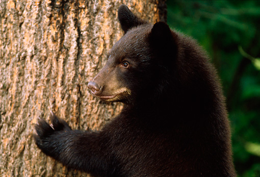 BEA 02 TL0008 01 © Kimball Stock Head And Shoulder Shot Of Black Bear Cub Climbing Tree