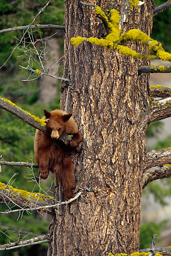 BEA 02 TL0012 01 © Kimball Stock Black Bear Cub Climbing Tree In Woods