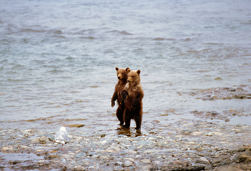 BEA 02 TL0015 01 © Kimball Stock Two Coastal Grizzly Bear Cubs Standing On Hind Legs On Rocky Riverbank
