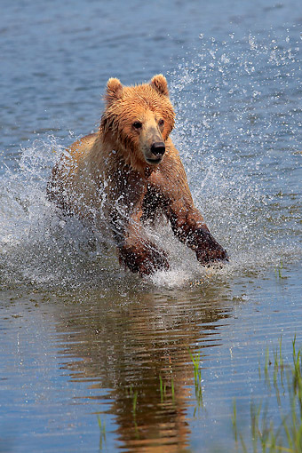 BEA 03 AC0002 01 © Kimball Stock Mainland Grizzly Bear Hunting In Water In Summer, Brookes River, Alaska, USA