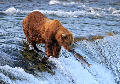 BEA 03 AC0003 01 © Kimball Stock Mainland Grizzly Bear Hunting Salmon In Water In Summer, Brookes River, Alaska, USA