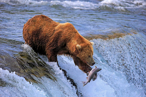 BEA 03 AC0004 01 © Kimball Stock Mainland Grizzly Bear Hunting Salmon In Water In Summer, Brookes River, Alaska, USA