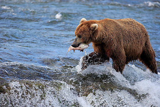 BEA 03 AC0005 01 © Kimball Stock Mainland Grizzly Bear Hunting Salmon In Water In Summer, Brookes River, Alaska, USA